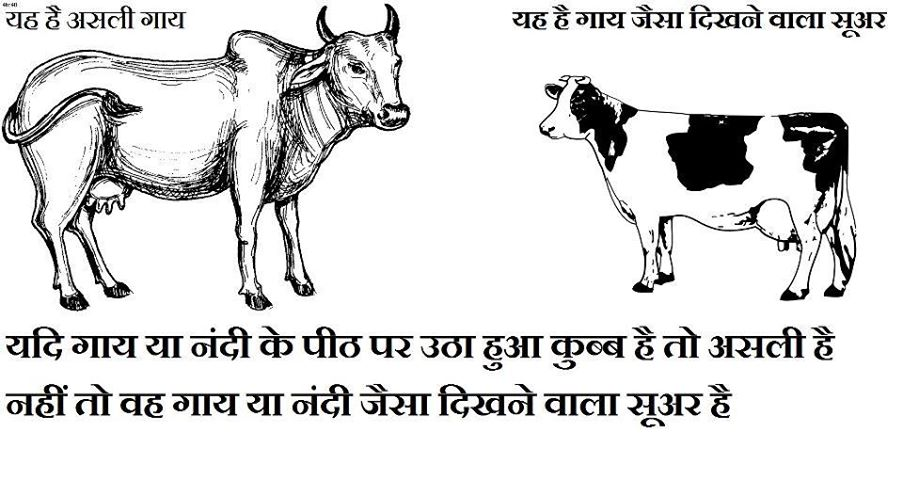 Comperision Milk Of Desi Cow Breeds Vs Foreign(Jersey Cow)Breeds